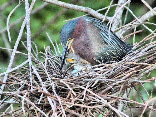 Green Heron 17-5 with hatchlings HDR 02-20160413