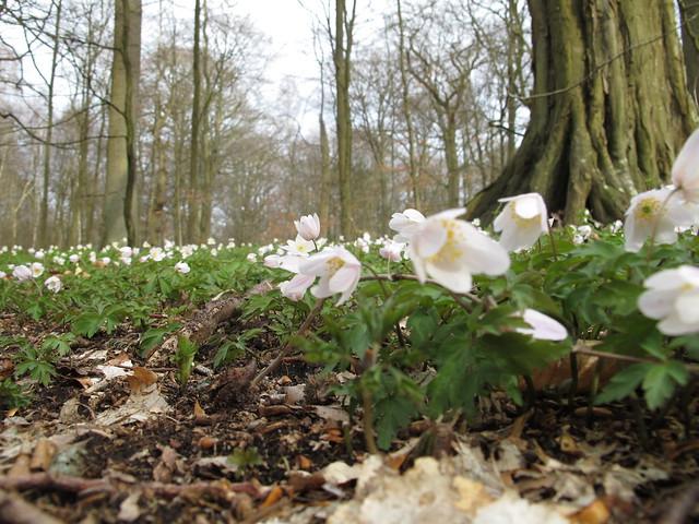 sunday, wooden anemones, pålsjö skog, helsingborg
