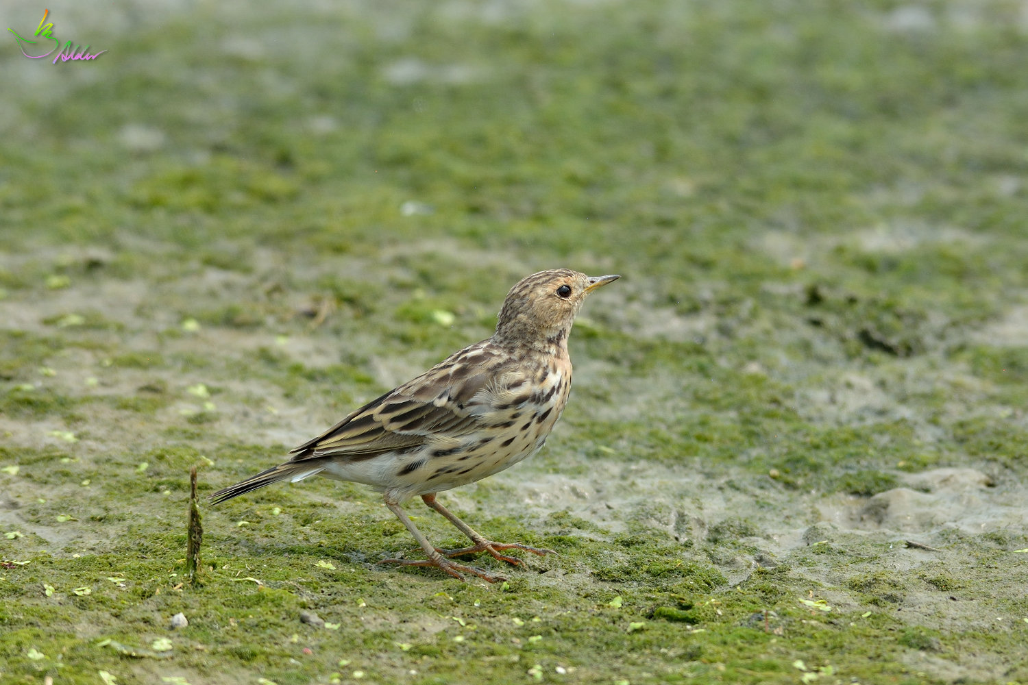 Red-throated_Pipit_3449