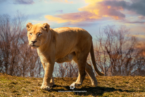 African Lioness | by fesign