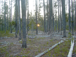 The sun sets through the Lodgepole Pines | by amber_is_i