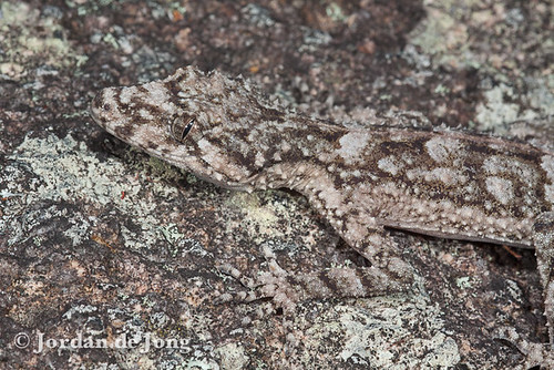 Saltuarius wyberba-2.jpg