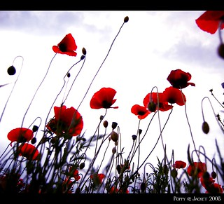 Poppies | by figure1812