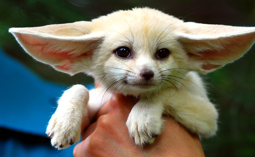 Baby Fennec fox | by floridapfe