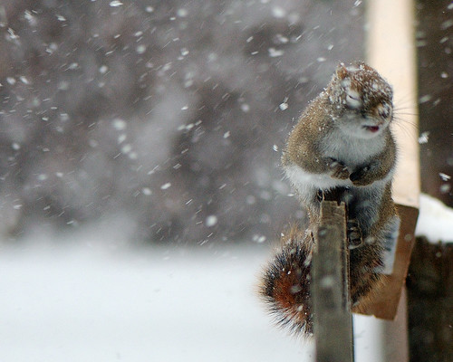 Squirrel in the Snowstorm III 2007-12-16 | by n8an