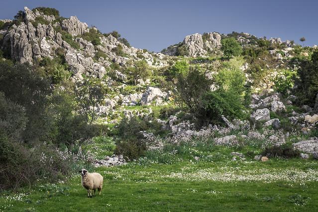 sheep low