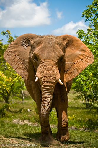 Charging Elephant | by jsrcyclist