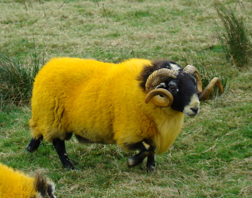 Can anyone explain fluorescent yellow sheep to me? | by Anita363