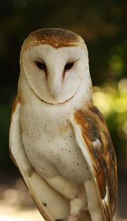 Barn Owl | by John Elias Photography