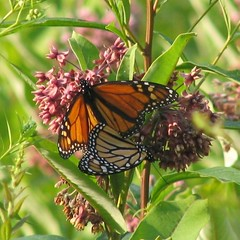 monarchs | by The Natural Capital