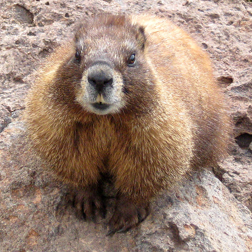 marmot with needs | by Aubrey Sun