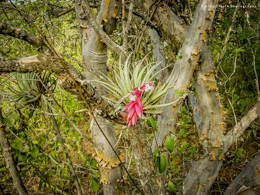 Tillandsia meridionalis