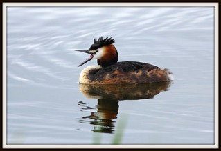 30th May 2011 Great Crested Grebe | by Fudgey2010