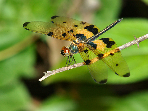 Common picturewing - Rhyothemis variegata  [Explored] | by Tarique Sani
