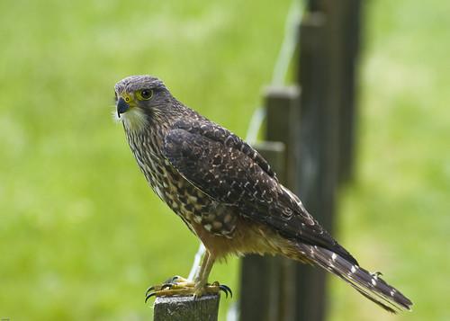 """Karearea"" (NZ Falcon)"