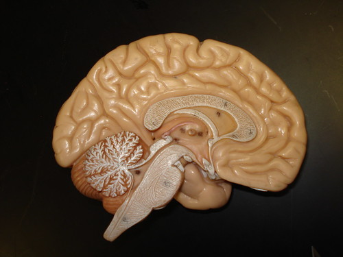 Brain Model | by biologycorner