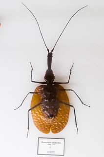 CD422 Violin Beetle - Mormolyce phylloides | by listentoreason