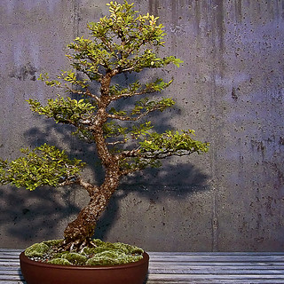 bonsai-chinese elm_4101 | by mondays child