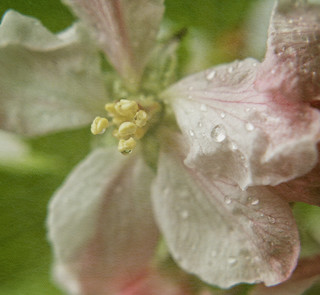 Apple Blossom | by Cath S (sn000py)