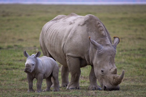 Rhino Mother and Daughter | by mikel.hendriks