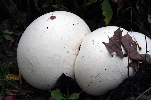 Giant Puffball Mushrooms | by Waldo Jaquith