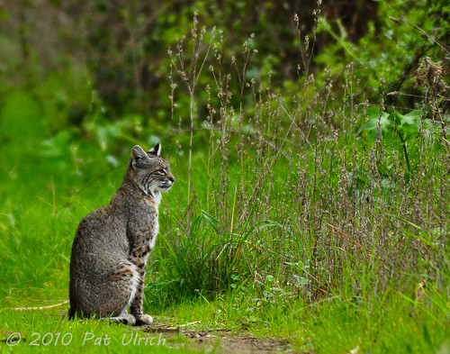 First bobcat encounter (1of2) | by Pat Ulrich