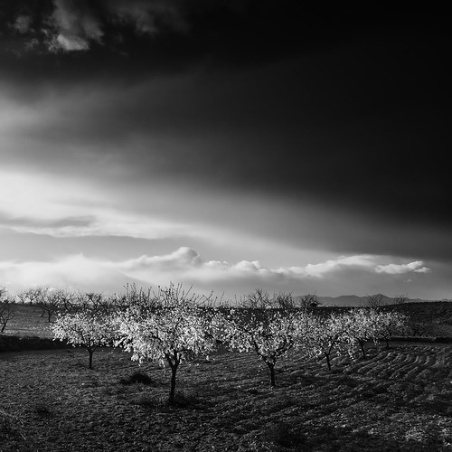 Almond Trees | by DavidFrutos