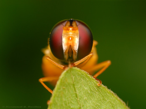 Hoverfly | by Rundstedt B. Rovillos