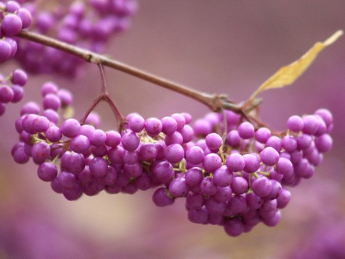 Japanese Beautyberry | by donsutherland1