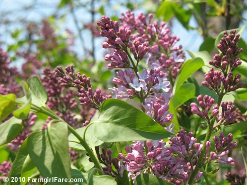 Lilacs! 1 | by Farmgirl Susan