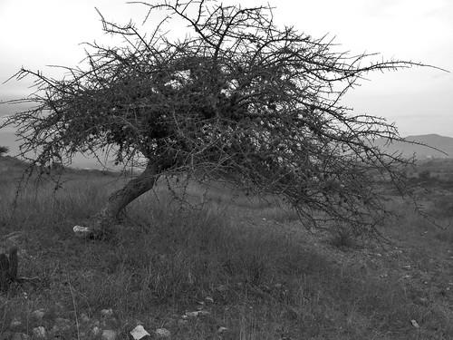 Thorn Tree Loma Cuache Flickr Photo Sharing