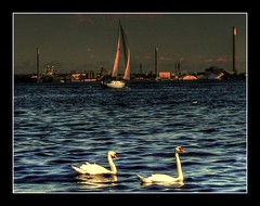 Swans | by ray1179