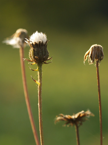 Dried Off Weeds 2 | by gripspix (OFF)