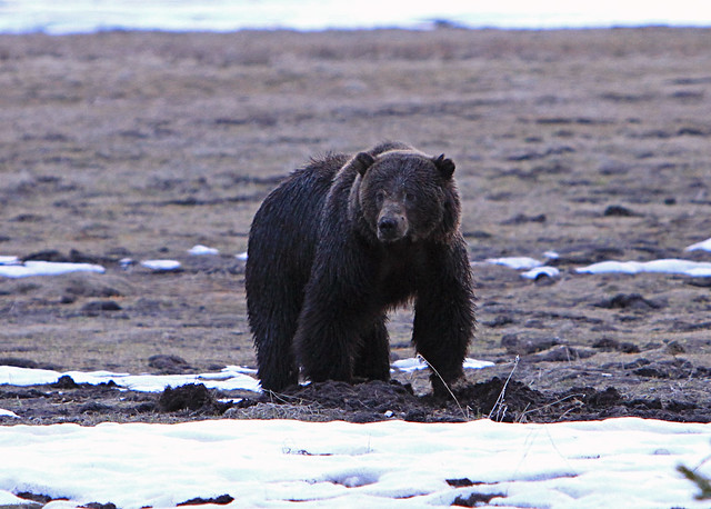 Grizzly bear north of Obsidian Cliff