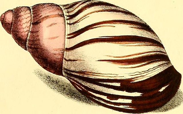 "Image from page 30 of ""Exotic conchology; or, Figures and descriptions of rare, beautiful, or undescribed shells, drawn on stone from the most select specimens .."" (1821)"