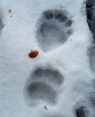 black bear prints, Sequoia NP, California