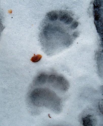 black bear prints, Sequoia NP, California