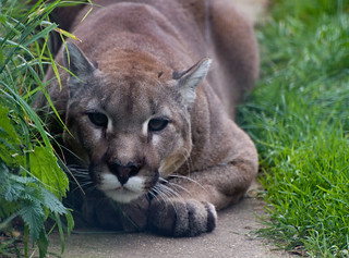 Cougar ready to pounce | by Harlequeen