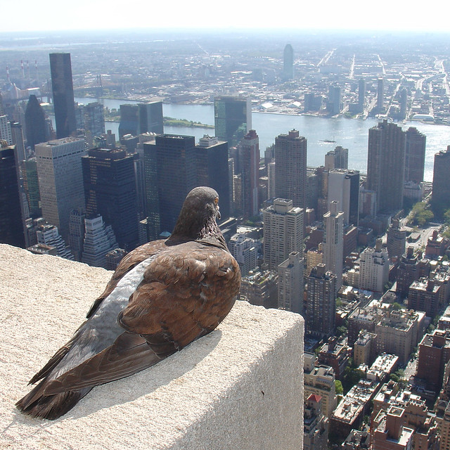 Empire State Pigeon