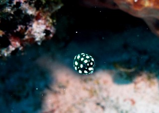 Juvenile Smooth Trunkfish | by Scubaben