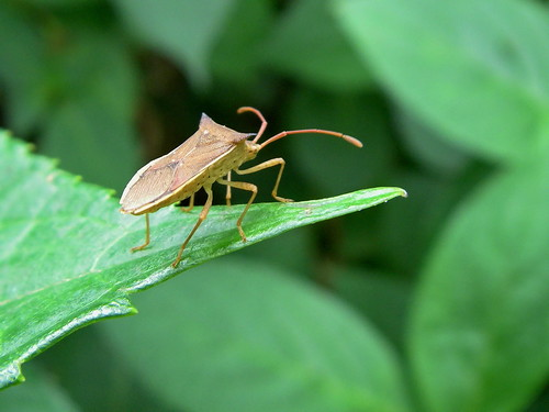 Stink bug | by Blue Lotus