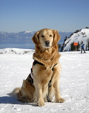 Alpine Rescue Dog