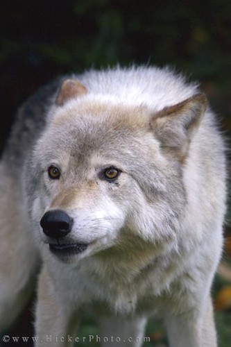 Ic Animal Tarot Cards: Animal Timber Wolf Canis Lupus Gray Wolf