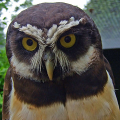 Spectacled Owl | by sypix