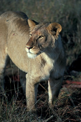 Lioness | by World Bank Photo Collection