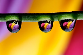 Drops and Tulips | by P r e v
