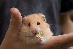 Eating Hamster | by sualk61
