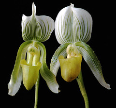 Twin Orchid | by Koshyk
