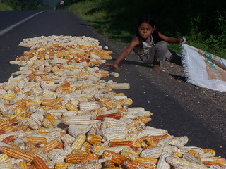 Drying Maize | by The Hungry Cyclist
