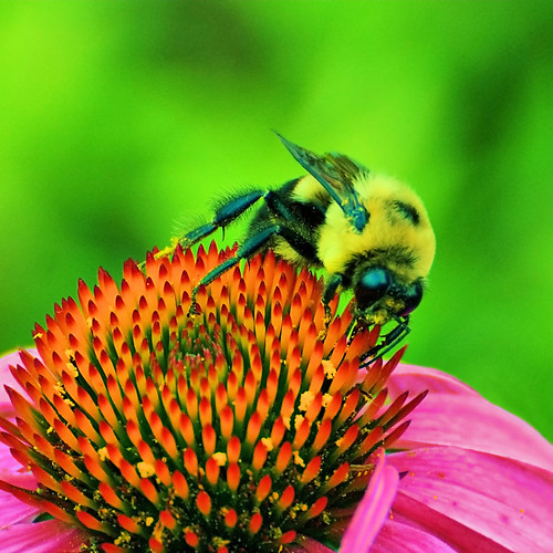 Bee & Flower - Up Close (Explored) | by Express Monorail